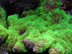 """Fig.3. Lo spettacolare effetto """"mare d'erba"""" di una grossa colonia di Briareum esposta ad impulsi intermittenti di corrente d'acqua"""